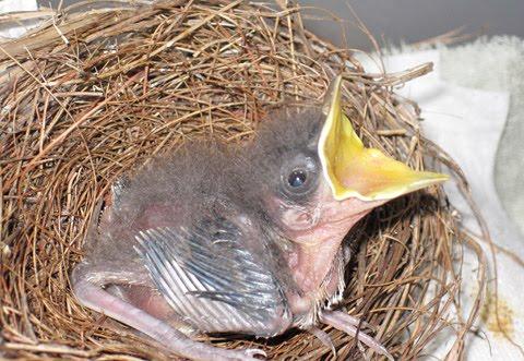 Types of baby birds - photo#3